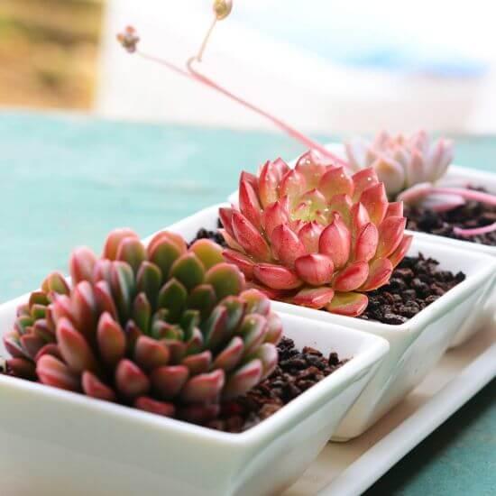 Succulent Plants with Pots